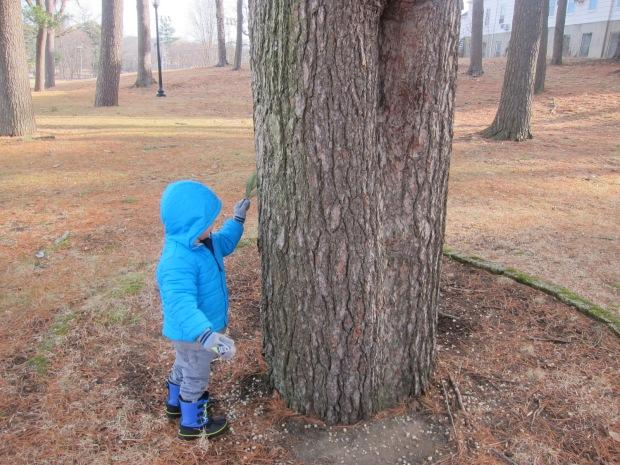 pine tree (7)